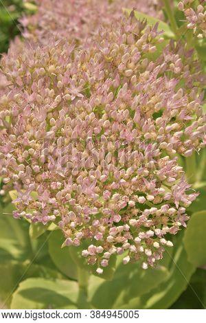 Close Up Of A Beautiful Sedum Flowers (sedum Spectabile)