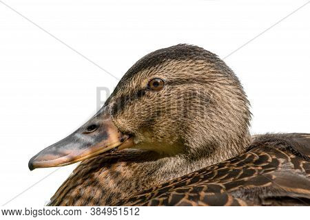 Close Up Head Portrait Of A Female Mallard Duck Isolated And Cut Out With A White Background