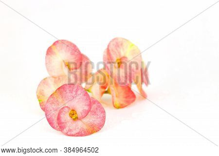 Pink Euphorbia Milii Flowers Blooming,christ Thorn,poi Sian Flowers Isolated On White Background