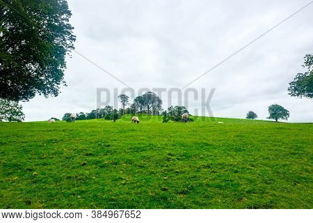 Sheep Grazing By The River Bela In Dallam Park, Milnthorpe, Cumbria, England