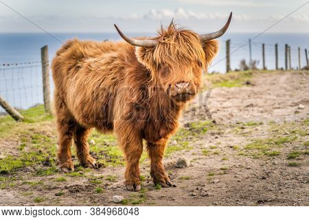 Beautiful, Long Furred Or Haired, Ginger Coloured Scottish Highland Cattle On The Hill Of Slieve Don
