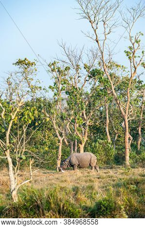 One Horned Endangered Rhinoceros With White Bird. Wild Indian Rhino In Natural Environment Of Chitwa