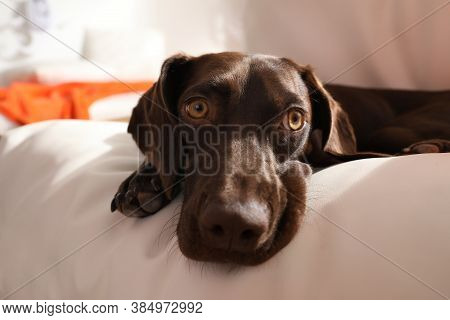 Adorable German Shorthaired Pointer Dog Lying On Soft Cushion Indoors, Closeup