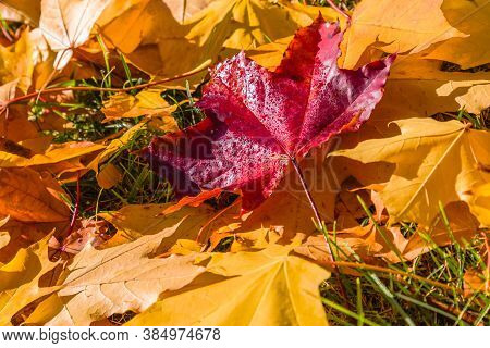 Colorful Autumn Leaves.autumn Maple Leaves Backlight View. Yellow Autumn Maple Leaves. Autumn Maple