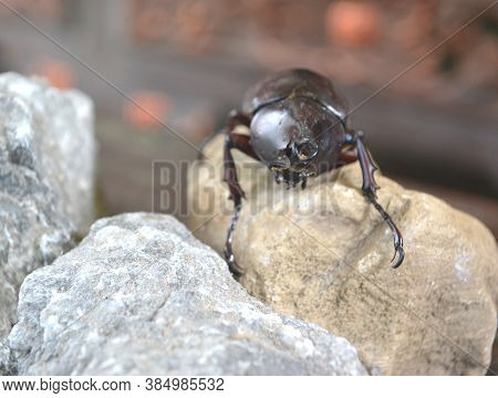 Front View The Rhinoceros Beetle Stands On A Brown Fossil Rock. Arthropods Are Popular In Several As
