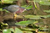 Green Heron (Butorides virescens) Stalking its Prey in a Pond with Lily Pads - Everglades National Park Florida poster
