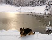 german shephard coming out of the water that is surrounded by snow and mostly covered with ice. poster