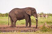 Single elephant standing at waterhole on plain big poster