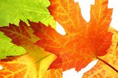 Maple leaves close up isolated on white poster