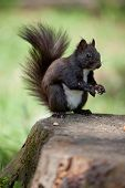 Gray fur squirrel with fluffy tail close-up is sitting on the stump on green grass background poster
