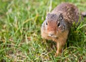 A curious ground squirrel looking for food walking in the grass. Focus on face with blurred background. poster