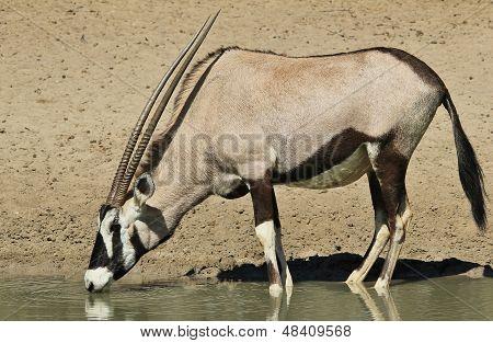 Oryx / Gemsbok - Wildlife Background from Africa - Quenching Thirst