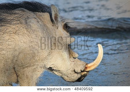 Warthog - Wildlife Background from Africa - Security of the Hog