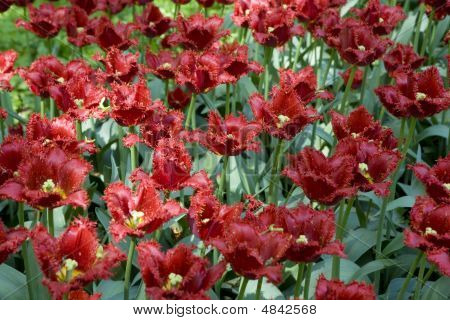 Tulip In Botanical Gardens