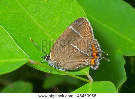 Butterfly (thecla Eximia)