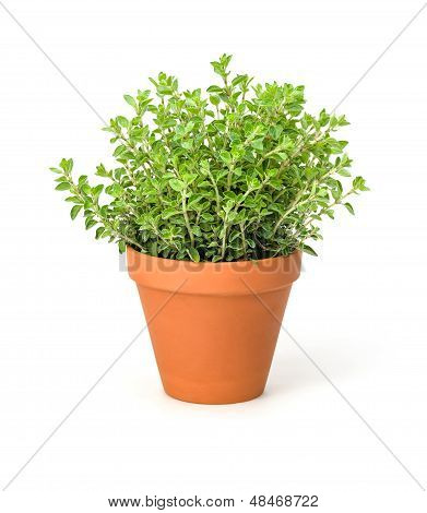 Oregano in a clay pot on a white background