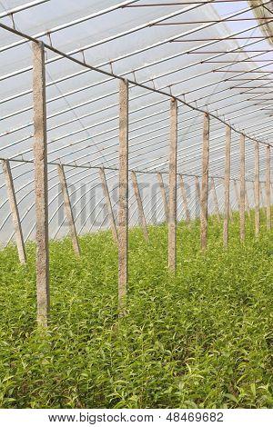 Sapling In A Greenhouse