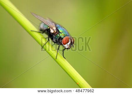 Red-headed Flies