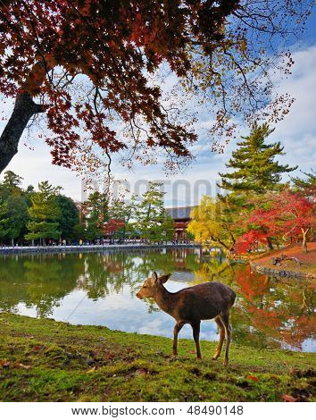 Deer at Todai-ji Temple grounds in Nara, Japan. poster