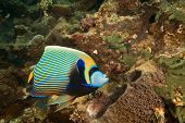 emperor angelfish (pomacanthus imperator)taken in the red sea. poster