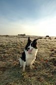 Working dog, border collie poster