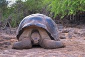 giant turtle galapagos islands wildlife of ecuador poster