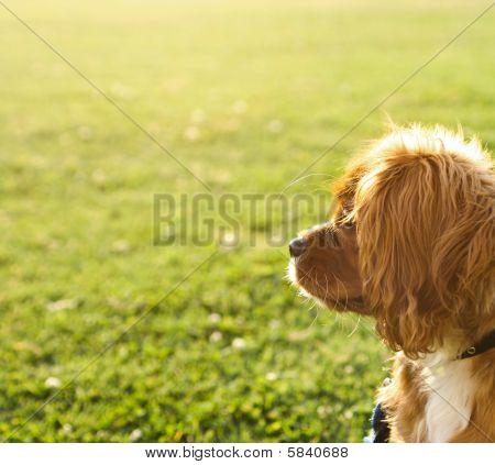 Ruby (tan) Cavalier King Charles Puppy