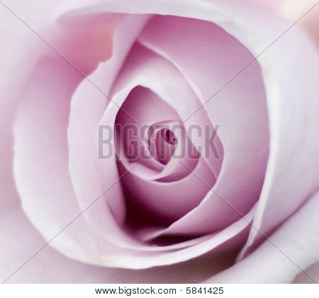 Purple Rose Flower