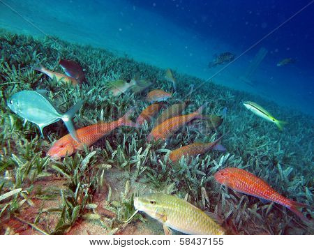 Goatfish feeding frenzy