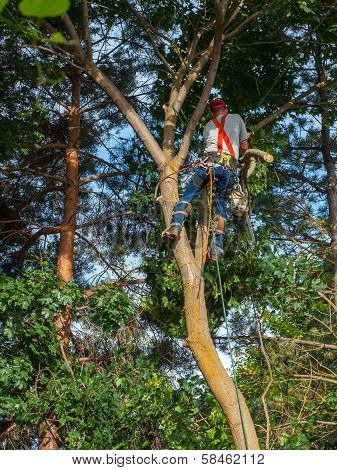 An Arborist Cutting Down A Maple Tree Piece By Piece