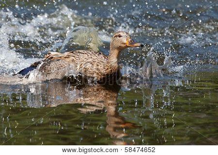 Female Wood Duck (aix Sponsa) Landing