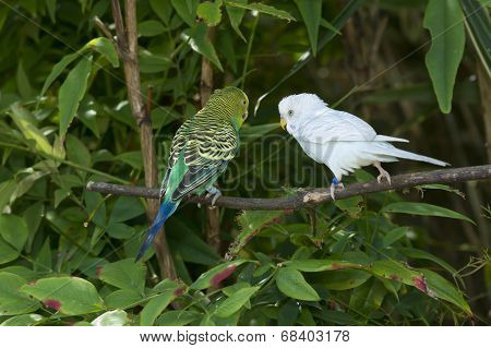 Two Budgie Parakeets.