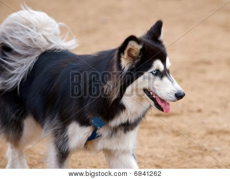 Siberian Husky dog with beautiful blue eyes.