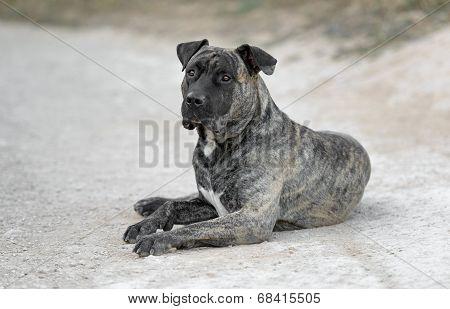 Adult Male Dogo Canario Dog