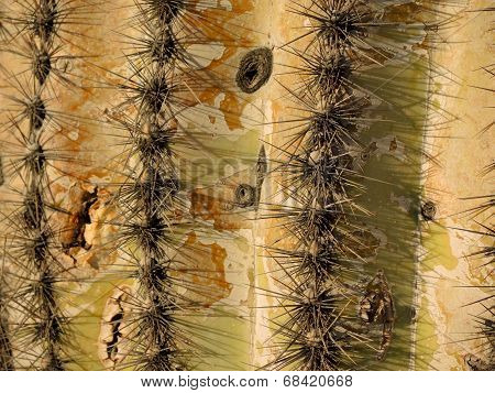 This is the needle lined trunk of an ancient and gigantic Saguaro Cactus in the Sonoran Desert. poster