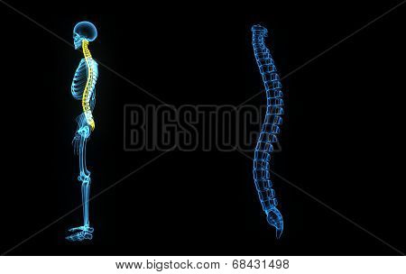 The spinal cord is a long, thin, tubular bundle of nervous tissue and support cells that extends from the brain poster