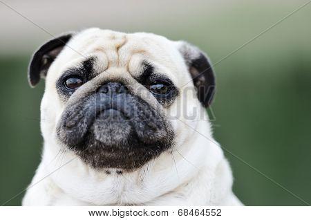 Portrait Of A Pug Outdoors