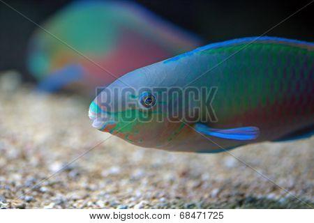 Colorful Parrotfish