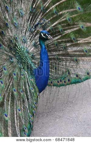 Indian Peafowl / Blue Peafowl / Pavo Cristatus