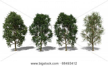 Syzygium Grande (four Seasons)