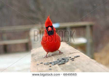 Cardinal Male On Boardwalk Rail With Seeds
