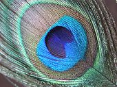 Closeup of peacock feather poster