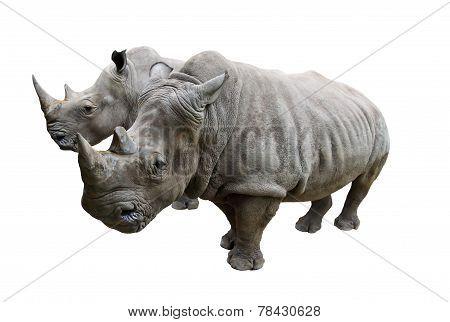 Rhino on white background.