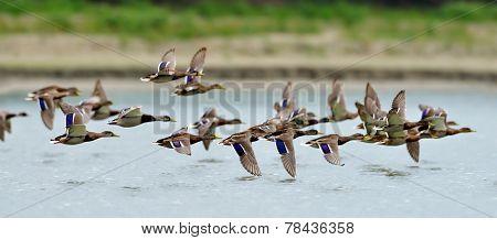 wild ducks flying over the lake