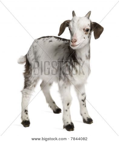 Rove Goat Kid, 1 Month Old, Standing In Front Of White Background