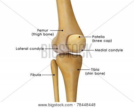 The knee joint joins the thigh with the leg and consists of two articulations: one between the femur and tibia, and one between the femur and patella. poster