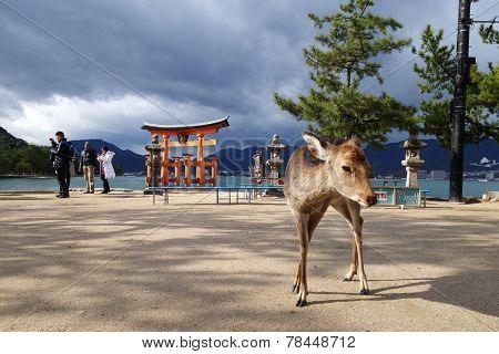 A Deer With Big Torii Gate At Miyajima, Japan