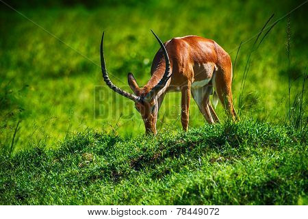 Grazing Red Hartebeest Antelope In Long Lush Grass