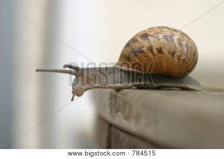garden snail exploring over the edge