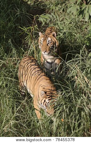 Tiger family going for hunting
